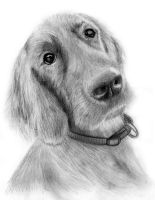 Red Setter Dog Pencil Drawing by portraitartuk
