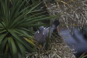 Pigeon by SuicideNeil