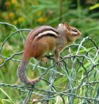 A Lovely Chipmunk by JocelyneR