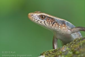 Common Sun Skink (IMG 2440 stk copy) by orionmystery