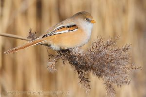 Bearded reedling, female by javierherrera86