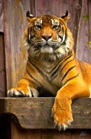 Sumatran Tiger 4 by andy1349