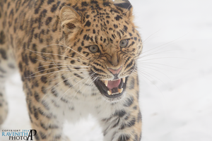 Angry leopard. by Ravenith