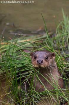 Otter by Alannah-Hawker
