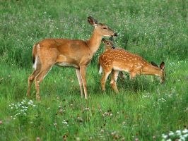 Doe and her Fawns by MichelLalonde