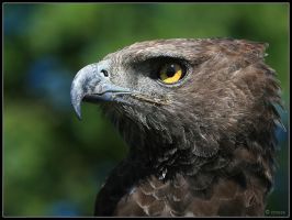 Martial Eagle Portrait by cycoze