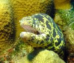 Chain moray close up by g--f