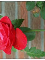 Rose 2 by schnegge1984