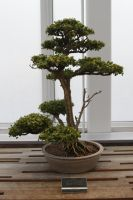 Bonsai Tree 2 by CastleGraphics