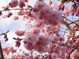 Cherry Blossom chaos by mattconnect