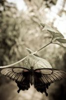 Butterfly by drr104