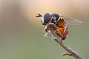 No ID hoverflly by buleria