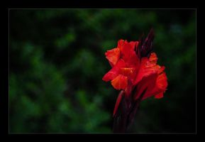 Canna by vw1956