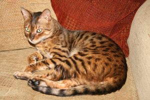 Bengal 1 by omey