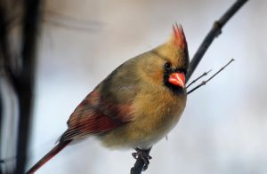 Sweet Little Cardinal by mozella78