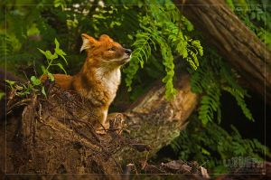 Dhole Standing Proud by Lupinicious