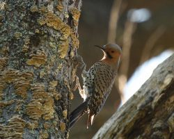 Northern Flicker I by natureguy