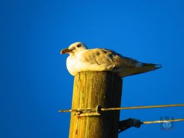 Seagull Relaxing On Telephone Pole by wolfwings1