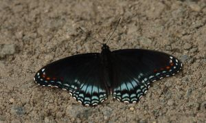 Red Spotted Purple butterfly I by natureguy