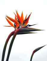 Birds of Paradise Stock by jojo22