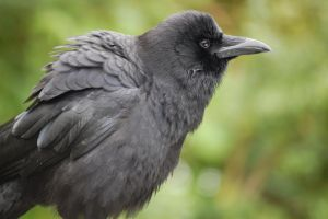 Alpha Crow_photo by CreatTheCrow