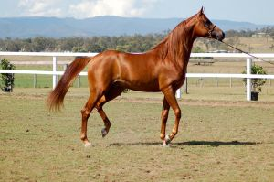 GE arab chestnut trot on spot head up side view by Chunga-Stock