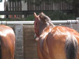 Clydesdale -4 by rachellafranchistock