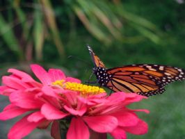 butterfly by Austron