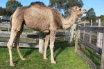 Camel Side View 1 by Digimaree