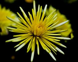 Yellow Flower by Keith-D