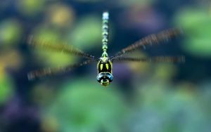 Flying Dragonfly by jsz