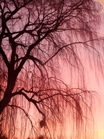 Weeping Willow by intricatelyBruised