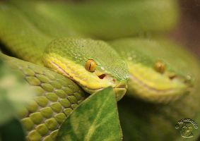 Green Snake by attack09