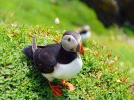 Skellig Puffin 3 by Shaystyler