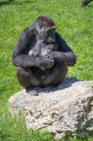 Baby gorilla and his mother by Talos-X