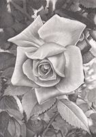 Une Rose aux Crayons Graphites by ArtisAllan