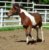 Horse Stock 86 - Coby by Freedom-Falling