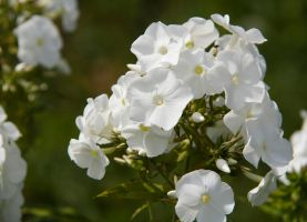 White flower by Uligma