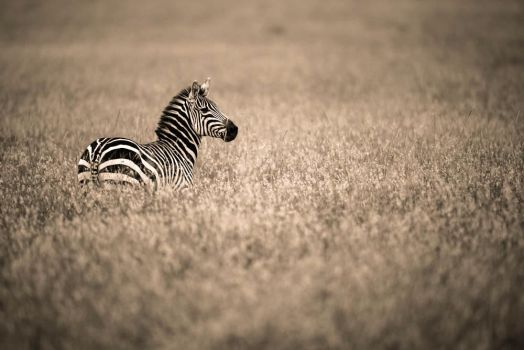 Lonely Zebra by JustinBowen