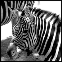 That's not a zebra... by MadejyalookGraphics