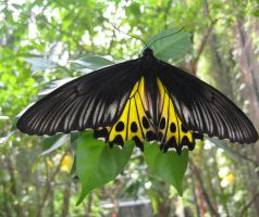 Butterfly yellow by James-Fong