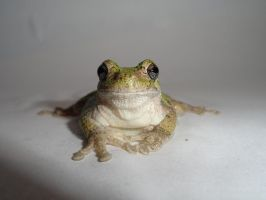 Gold The Gray Treefrog by MariahEAM