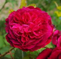 Rose Red by Forestina-Fotos