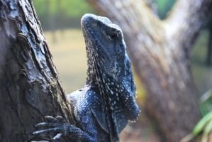 Frilled Lizard by ManitouWolf