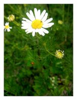 oxeye daisy by kallerhult