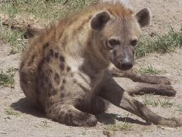 Hyena Stock 1 by HOTNStock