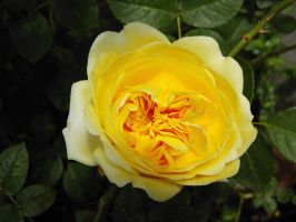 Old English Rose by GrahamSym