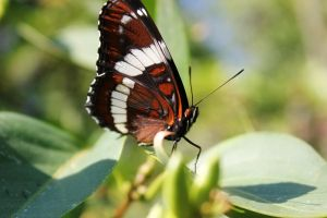 - Brown and White Butterfly - by relisabby