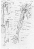 Bone n Muscle Anatomy of Arm by FATRATKING
