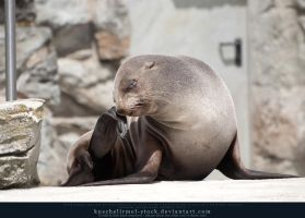 Seal by kuschelirmel-stock